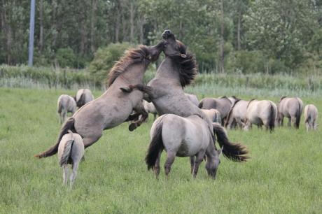 Vechtende konikpaarden, Oostvaardersplassen