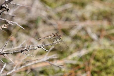 Libelle, Berkheide