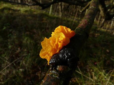 Gele trilzwam, Middenduin, Overveen